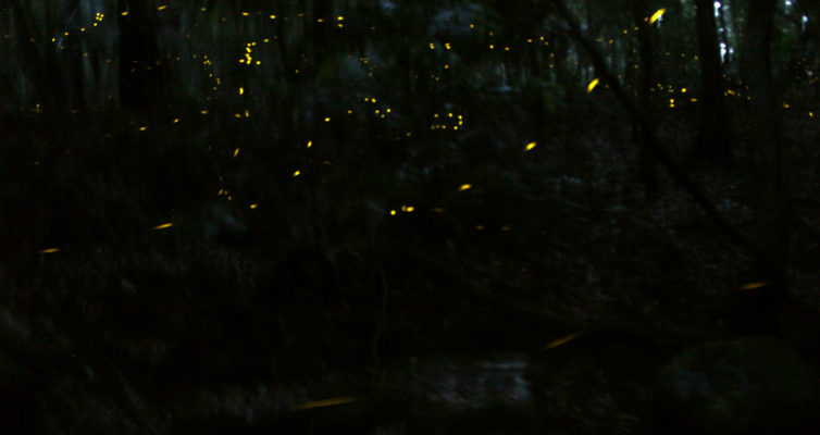 Fireflies at Forest of Tranquility